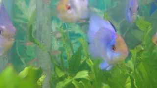How to Care For Electric Blue Rams - Gerber