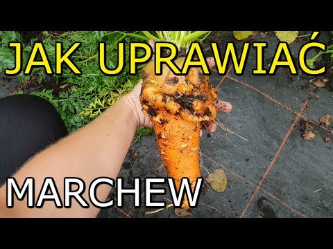 Download Jak uprawiać Marchew | Uprawa Marchwi KROK po KROKU