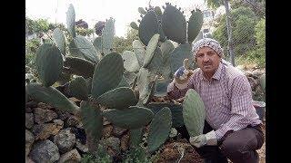 طريقة زراعة الصبر _ التين الشوكي(2) .How to plant Prickly Pear Cactus