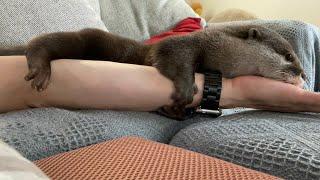 カワウソさくら あまりに抱きつきに来すぎておちおち休めない Otter hugging too much