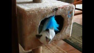 Тайский котенок - домосед! Смотреть всем! Тайские кошки - это чудо! Funny Cats