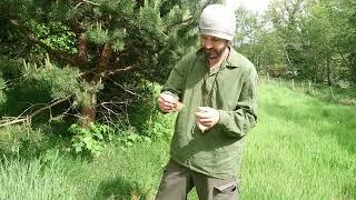 Pine needle tea, using tea bags, herbal/healing tea series