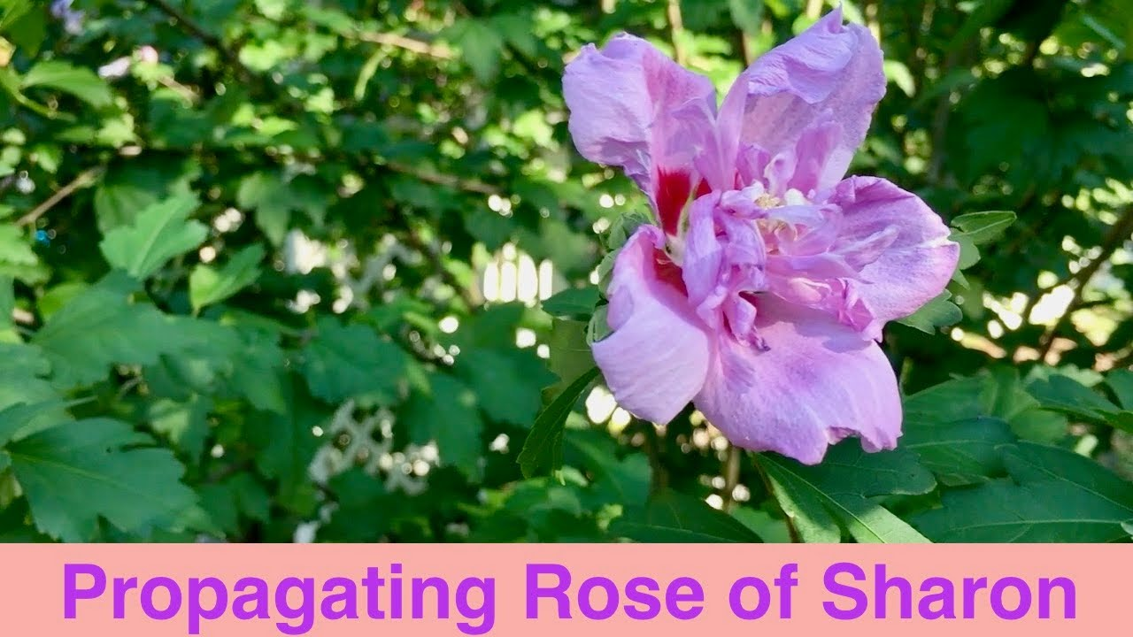 Propagating Rose Of Sharon Youtube
