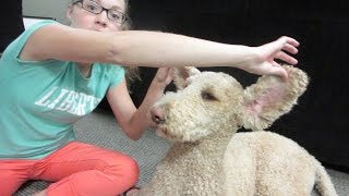 CLEANING HAIRY POODLE EARS! (9.12.15)