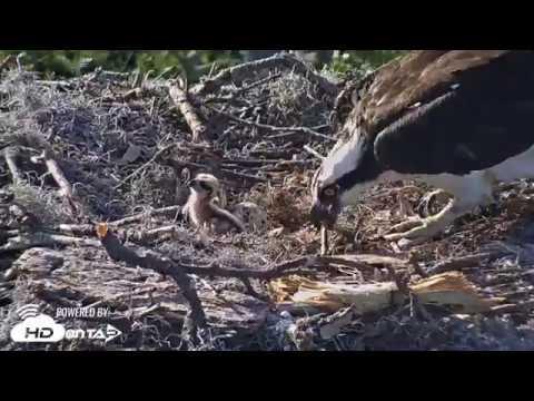 2018 - Skidaway Osprey Chick #2 Hatching!