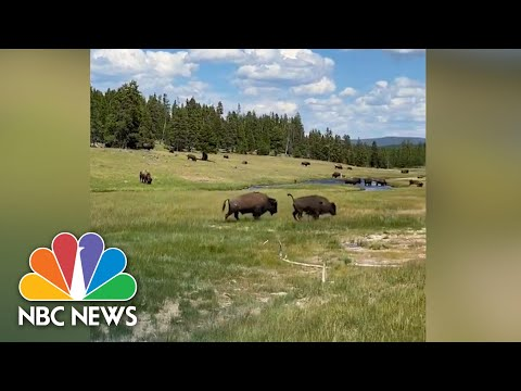 Watch: Woman Trips Running Away From Bison, Plays Dead To Avoid Attack | NBC News NOW
