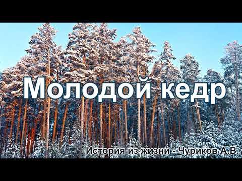 Молодой кедр. Чуриков А.В. - Истории из жизни.