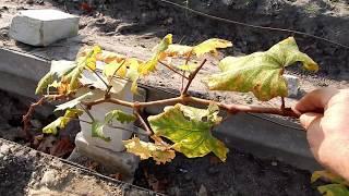 Обрезка однолетних кустов винограда . Северный виноград.
