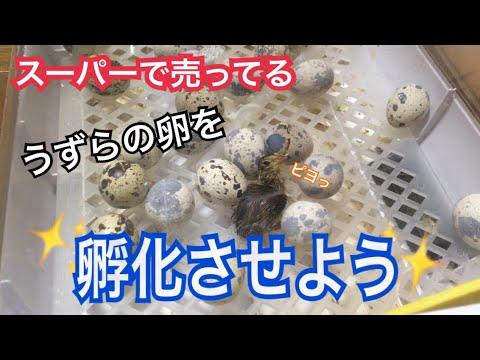 【1話完結】スーパーで買ったうずらの卵を孵化させよう!