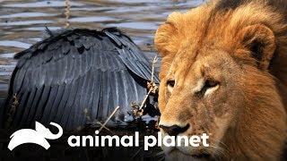 Os predadores da África em ação | África Selvagem: Rios | Animal Planet Brasil