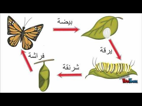 دورة حياة الفراشه