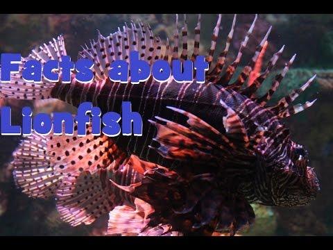 Facts About Lionfish; Aqua Life Episode 9