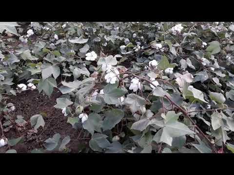 BT Cotton. Gujarat(India)Genetically modified crops
