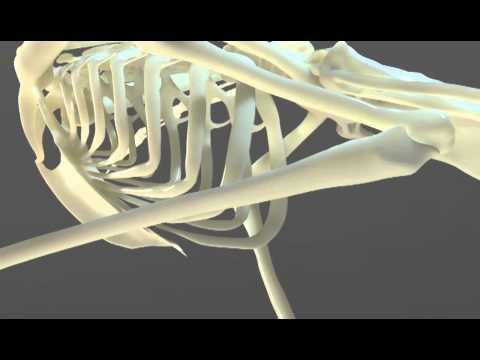 Secretary Bird Skeleton