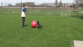 Treibball Training Met Cairn Terrier