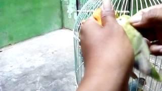 Perbedaan burung lovebird paskun bersih dan lutino