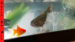BLOB CATFISH Love GOLDFISH!