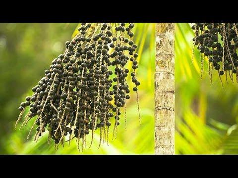 Investigando ando - Las palmas de naidí o açaí (Euterpe oleracea y Euterpe precatoria)