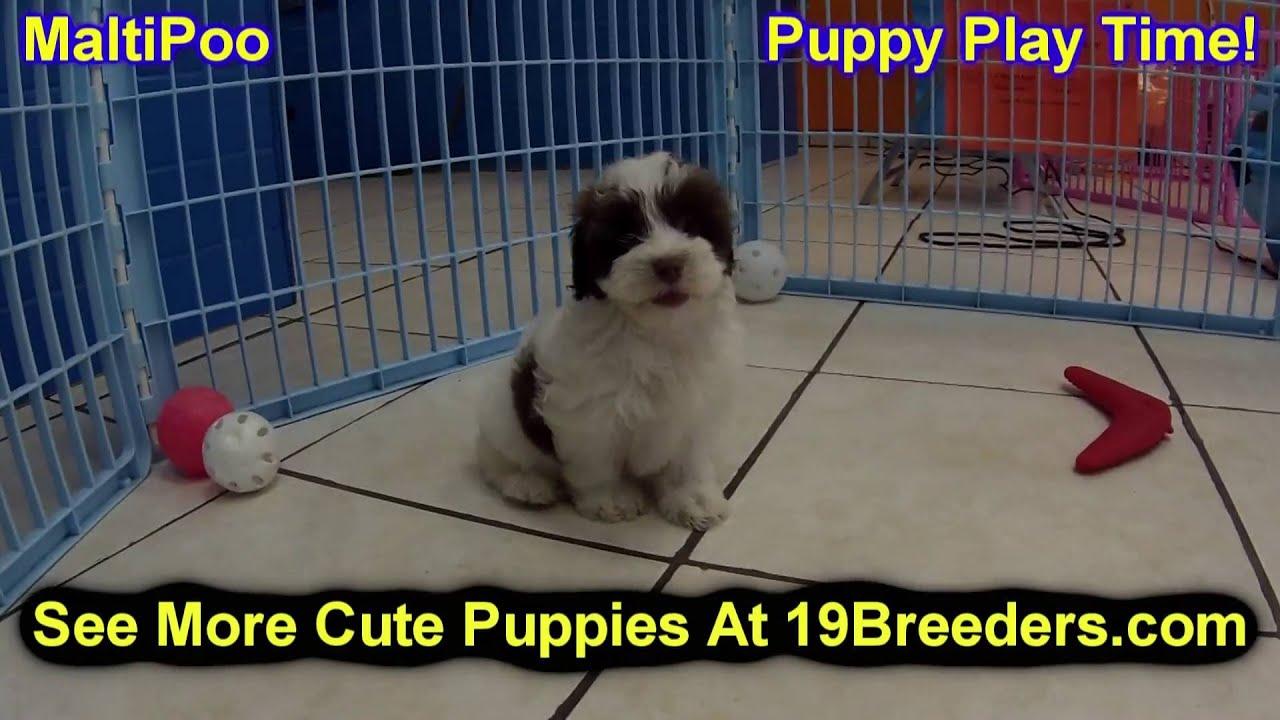 Malti Poo, Puppies, Dogs, For Sale, In Jacksonville, Florida, FL,  19Breeders, Orlando, Cape Coral