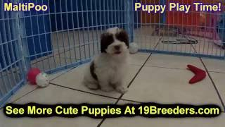 Maltipoo, Puppies, For, Sale, In, Chicago, Illinois, Il, Carol Stream, Streamwood, Plainfield, Cryst
