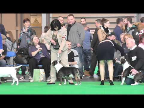 Postgrad Miniature Bull Terrier Crufts 2016 prt 2 Judge Elaine Clark (FourHeatons)