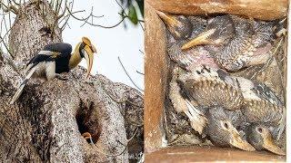 Watch Rare Video Hornbill Bird Nesting   In One Video  