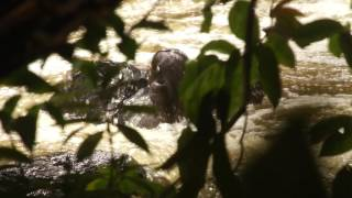 Orangutan Saved From Raging River in Indonesia