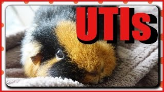 Urinary Tract Infections: Guinea Pig Peeing Blood?! | Squeak Dreams