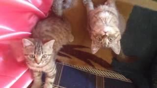 Загипнотизированные шотландские котята. Очень смешное видео!