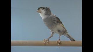 Sensacional Vídeo de Canário Pakito - Canary Singing (Brazil)