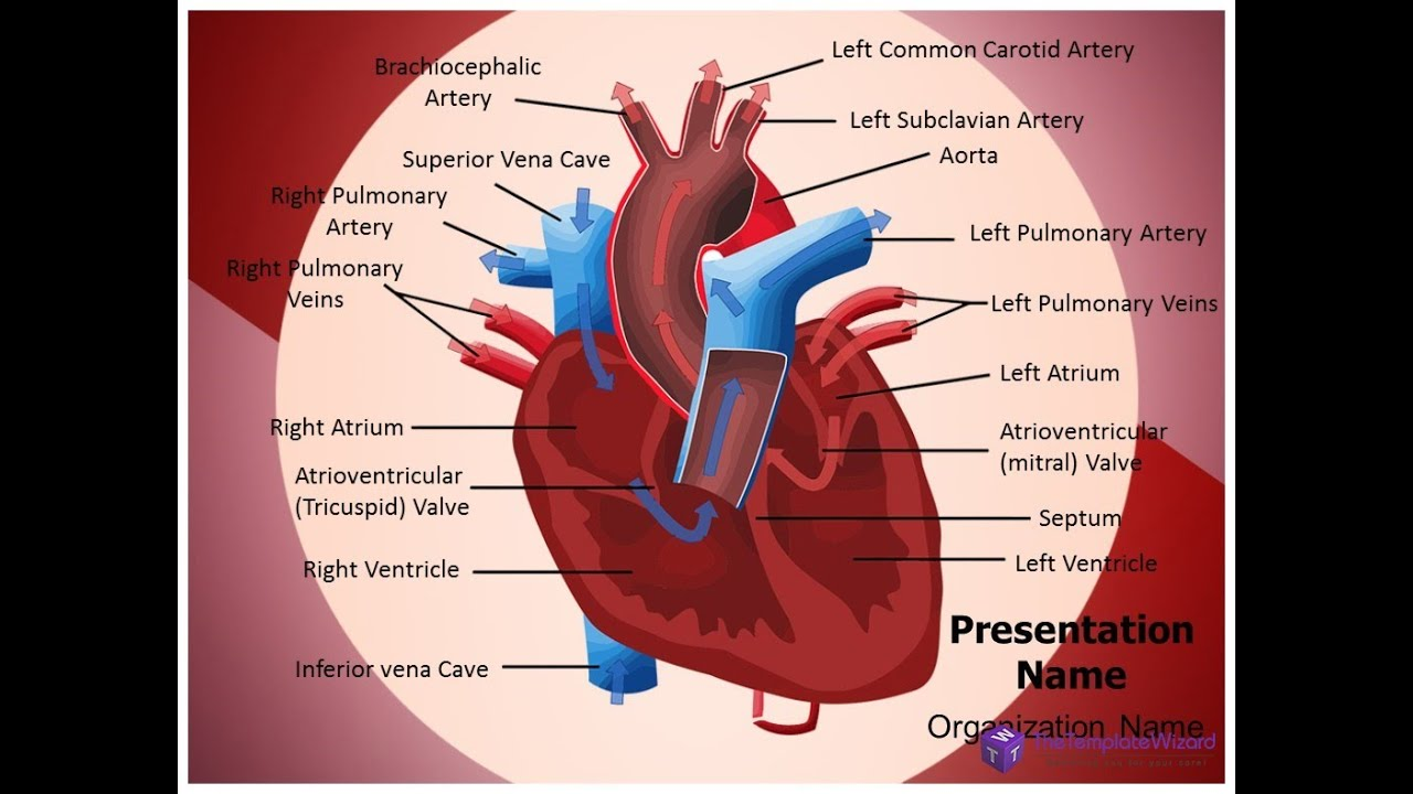 Heart Blood Circulation PowerPoint Template - TheTemplateWizard.com ...