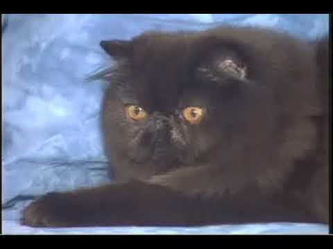 Ideal Companion: Persian Cats | Cat Breeding Videos