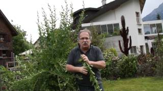 einzigartige nutzpflanzen goji sanddorn und schisandra viyoutube. Black Bedroom Furniture Sets. Home Design Ideas