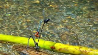 Reproducción de las libélulas