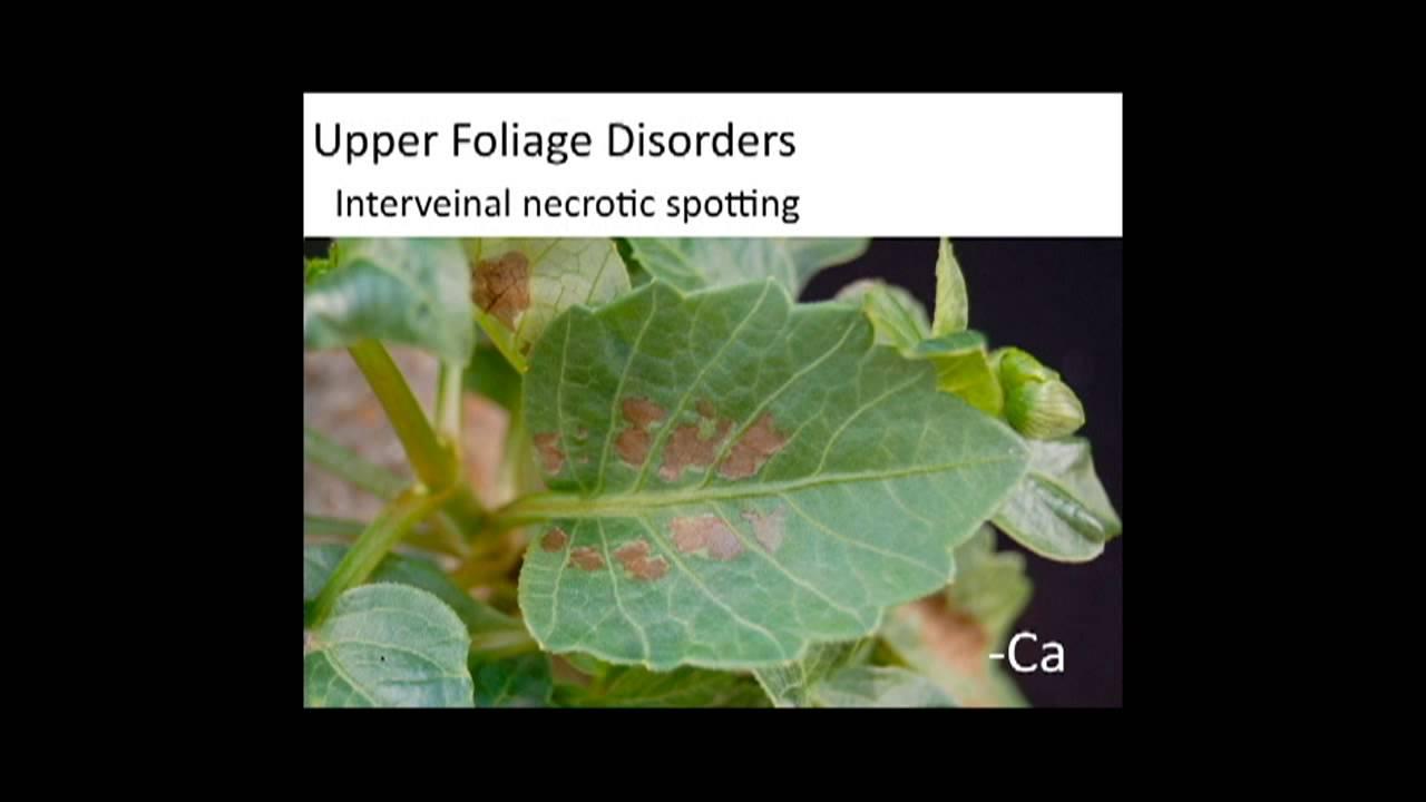 Dahlia nutrient disorders youtube dahlia nutrient disorders izmirmasajfo