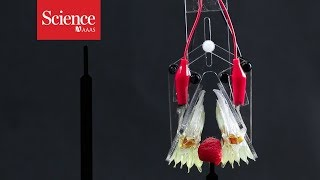 Snippet: New robotic gripper combines two types of soft robot tech