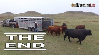 Moving Bulls by Trailer on a Wyoming Ranch