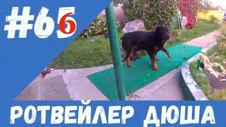 РОТВЕЙЛЕР ДЮША 66 дрессировка и воспитание собаки