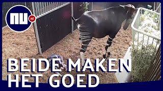 Zeldzame okapi geboren in Diergaarde Blijdorp | NU nl