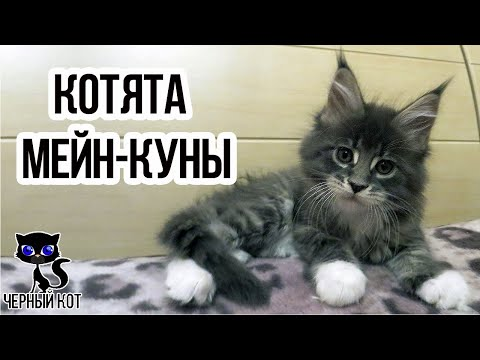 Вопрос: Какого котенка лучше взять-породистого или без породы и почему?