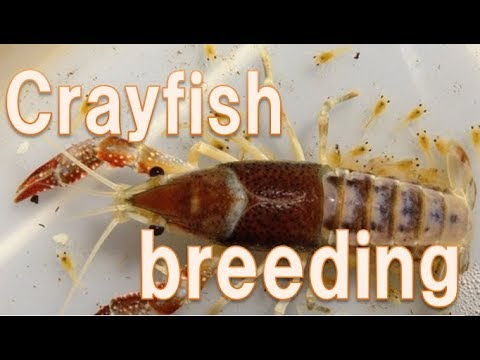 Breeding Technique Of Crayfish English Version