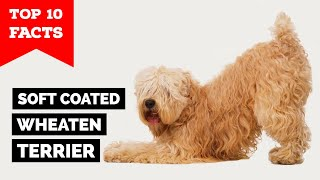 Soft Coated Wheaten Terrier  Top 10 Facts