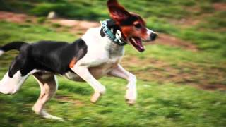 Все породы собак.Древесная Енотовая Гончая Уолкера (Treeing Walker Coonhound)