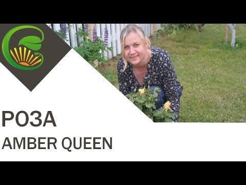 Роза Amber Queen (Harkness)