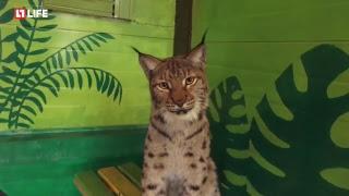 Рысь Алёна воспитывает четырех котят