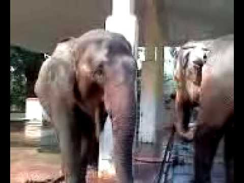 too close to elephant at zoo in MYANMAR