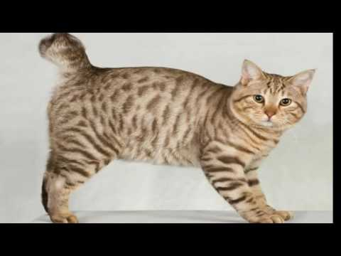 Top 10 Reasons to Choose an American Bobtail Cat For Your Pet