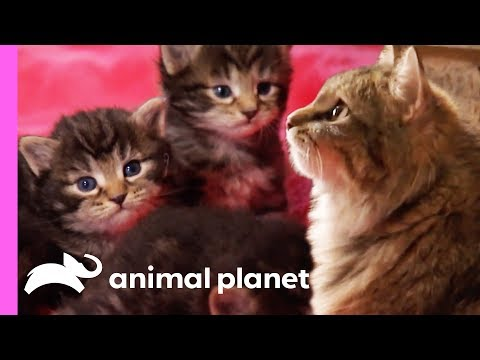Tiniest Kitten Boris Won't Let His Size Hold Him Back! | Too Cute!