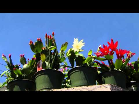 Easter Cactus Blooms For The Holiday And Beyond Youtube