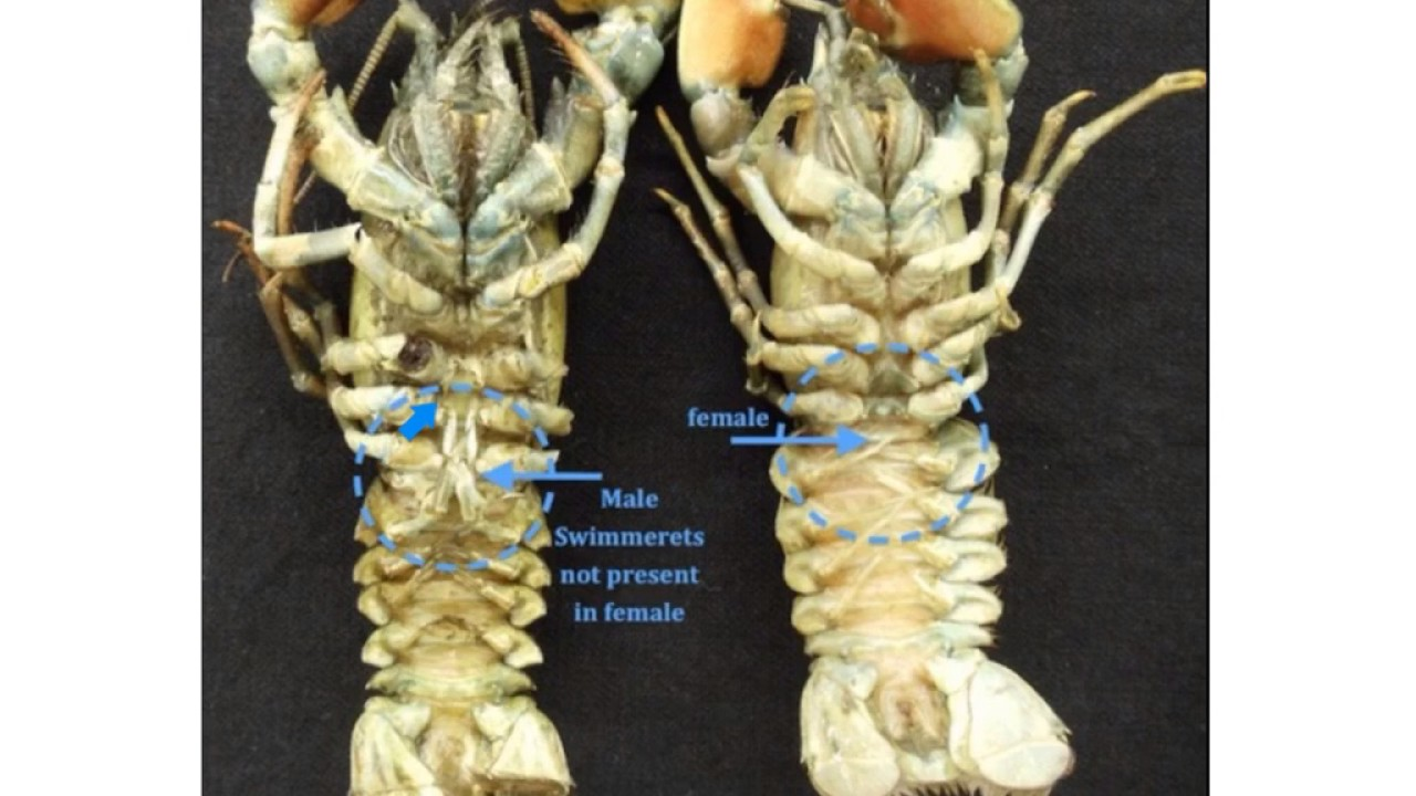 crayfish anatomy - YouTube
